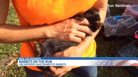 Volunteers round up runaway rabbits dumped in Boynton Beach park. (Sun Sentinel)