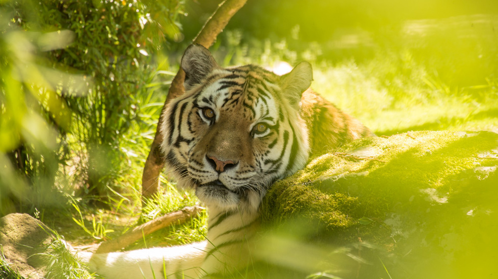 oregon zoo tiger mikhail dies one day before turning 20 years old