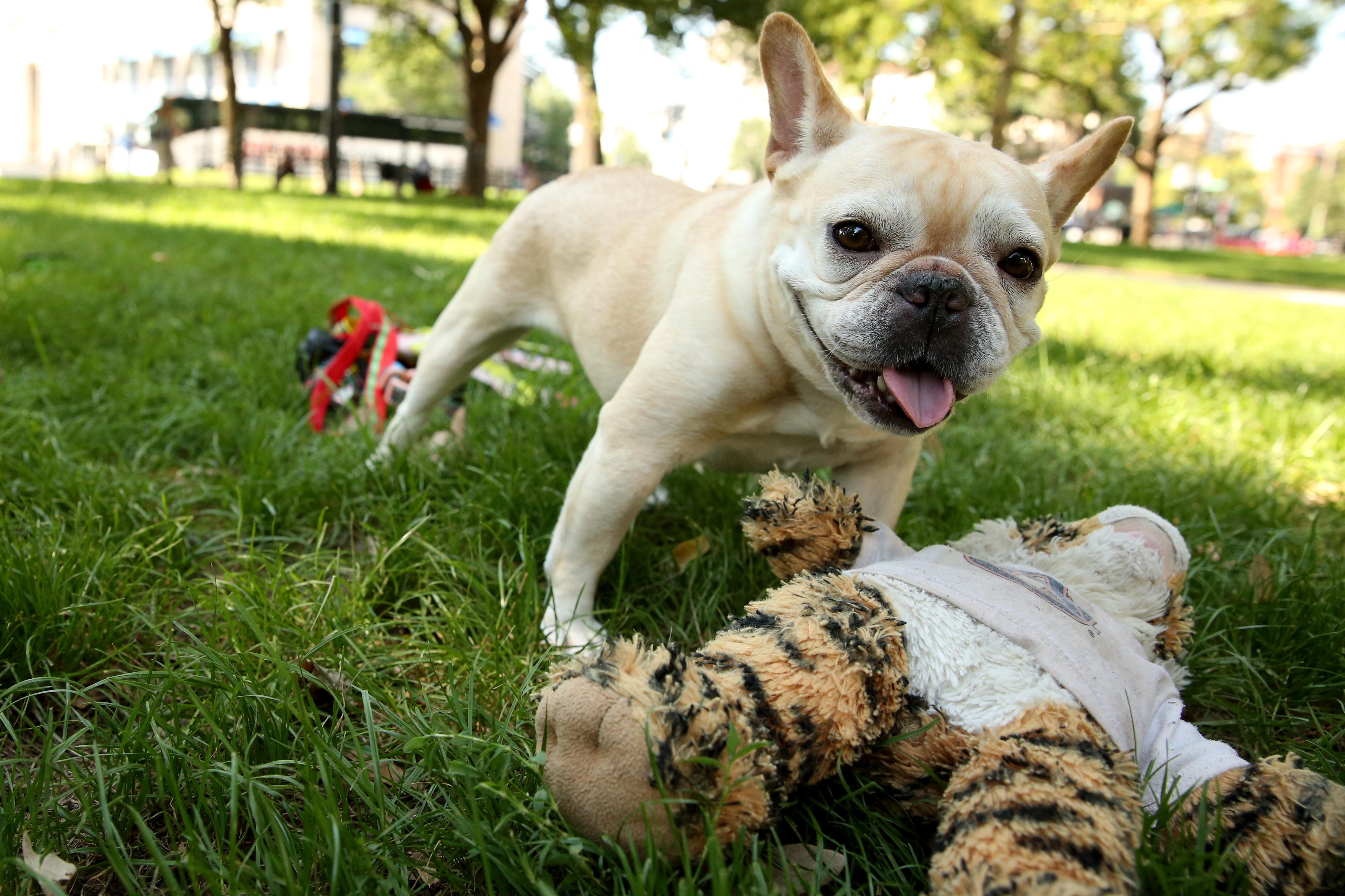 Meet Chloe, an almost six-year-old (we hear someone is having a birthday pawty next month) French Bulldog, who became somewhat of an Instagram star last year. Despite her adoring fans, Chloe hasn't become a diva and loves yoga stretches, any human food (especially peanut butter), pets from strangers on the sidewalk, wrestling with Dad, long naps on the sofa, and a nice, soft blanket. She's not a big fan of running --  or any exercise in general -- waking up early, rain or the sight of Mom and Dad packing suitcases. But Chloe's true love of life is camping, and  camping in tents specifically. If you or someone you know has a pet you'd like featured, email us at dcrefined@gmail.com or tag #DCRUFFined and your furbaby could be the next spotlighted! (Image: Amanda Andrade-Rhoades/ DC Refined)