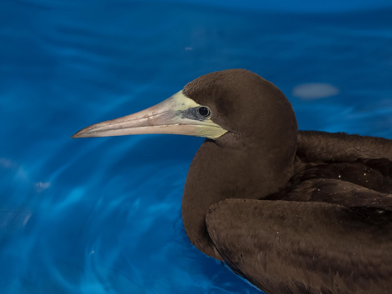 A female brown booby pushed north from the tropics to the Oregon Coast by a winter storm spent 10 days recuperating at the Oregon Coast Aquarium before heading to California on Tuesday. (Oregon Coast Aquarium photo)