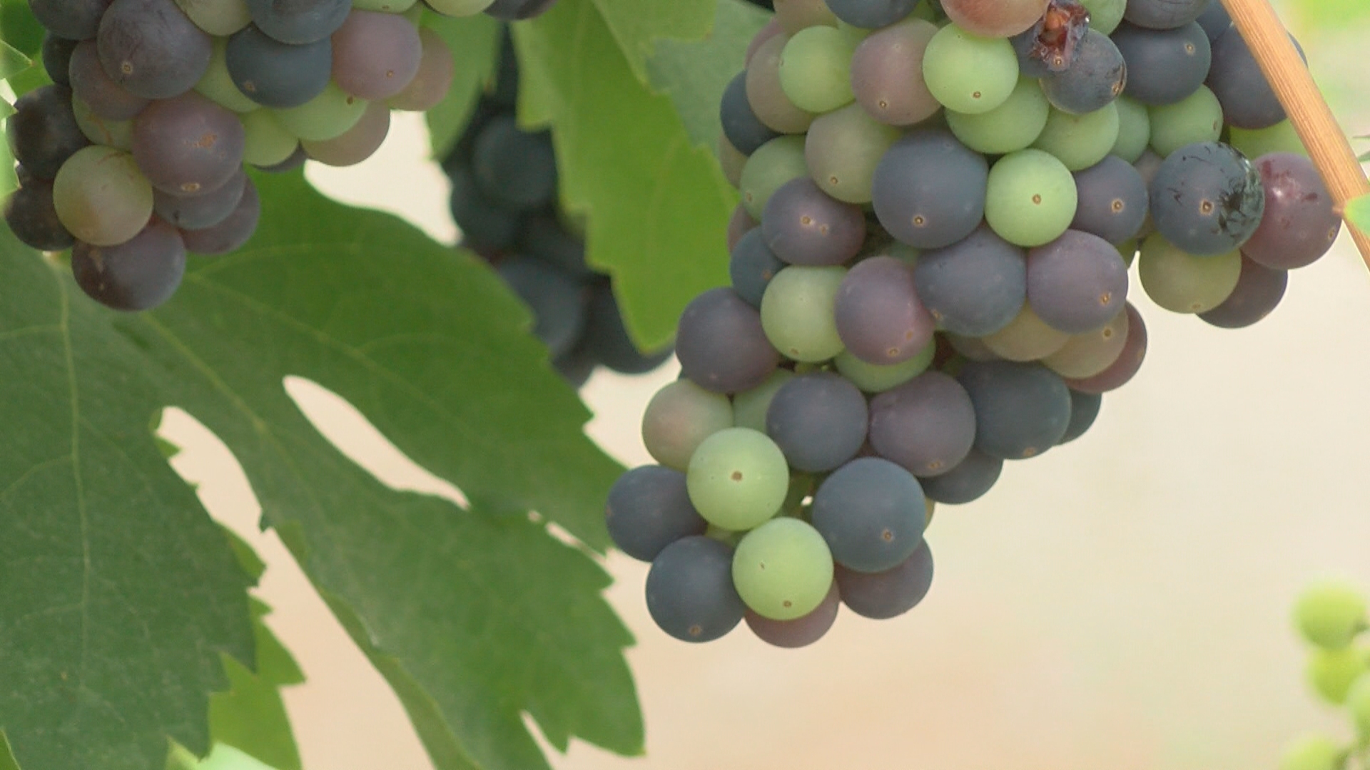 The people behind these grapes are beating the odds and making big money bottling their boutique brand. (KSNV)