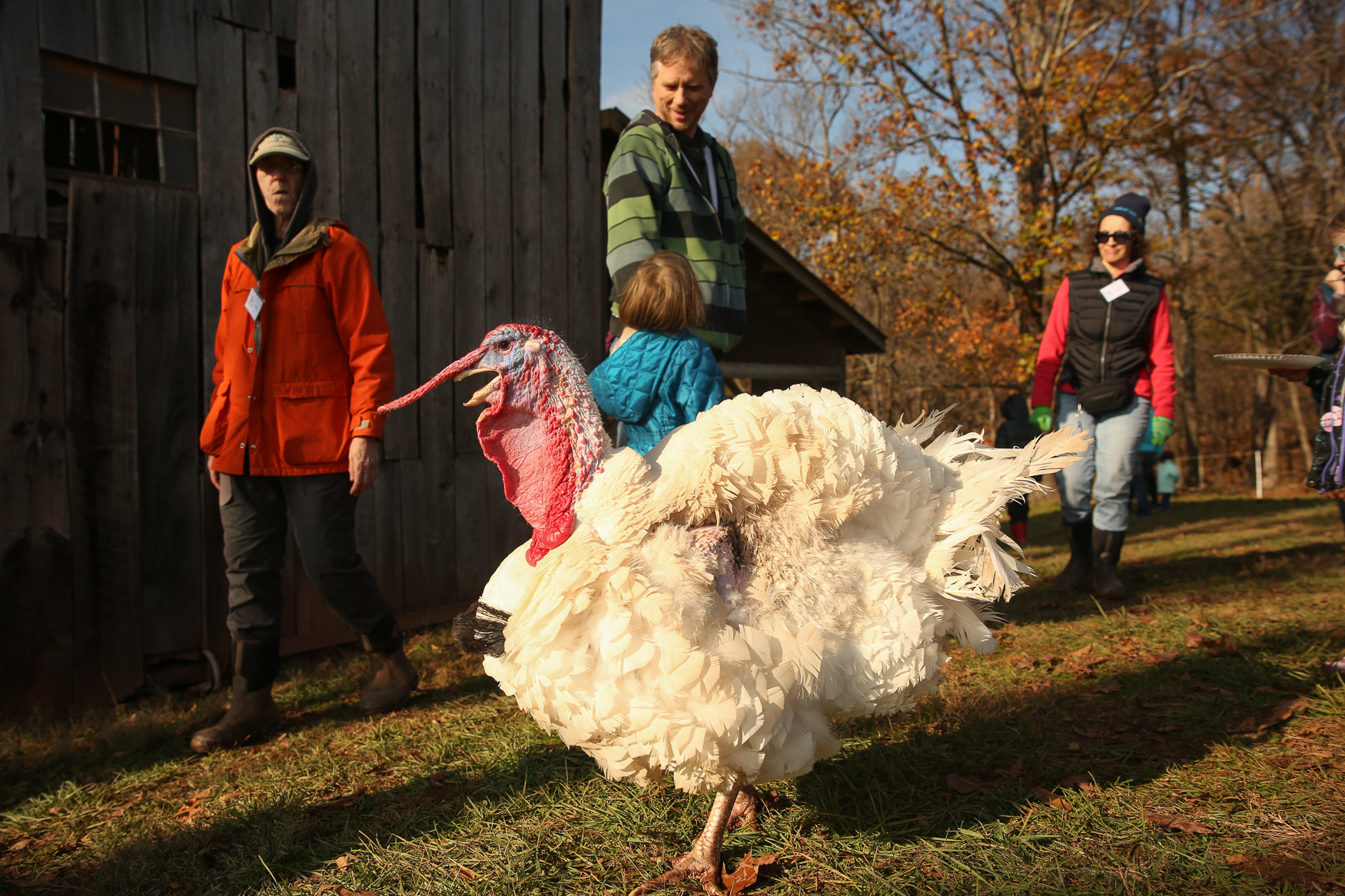 Hundreds of people visited the Poplar Springs Animal Sanctuary in Poolesville, Maryland on Saturday, November 17 for the annual Thanksgiving for the Turkeys. Attendees brought dishes to share and enjoyed a{ } vegan Thanksgiving feast together while interacting with the sanctuary's residents - some of whom were spared from commercial farms where they surely would've ended up on someone's table. The animals ate first, dining on fruits and vegetables before walking around the crowds and receiving lots of love from attendees. To conclude the festivities, guests gathered around and tossed in pumpkins and apples for the sanctuary's resident pigs. (Amanda Andrade-Rhoades/DC Refined)