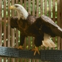 Rescued bald eagle to be released back into wild from Mackinac Bridge