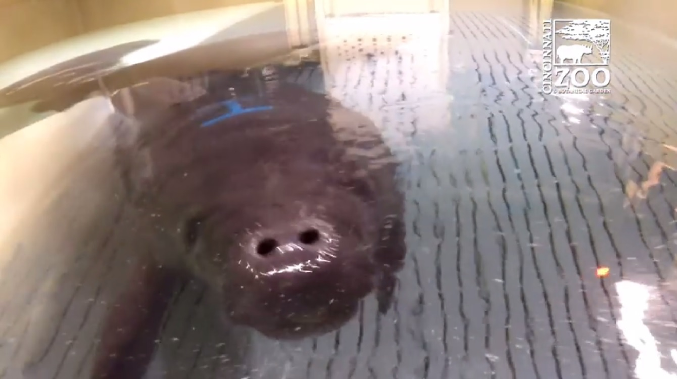 SeaWorld sends manatees to Ohio zoos for rehab. (Photo credit: Cincinnati Zoo & Botanical Garden/Facebook)